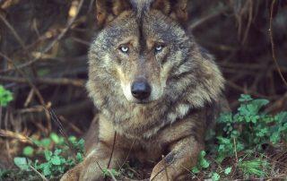 caminhada visita centro iberico lobos mafra caminhando 7