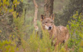 caminhada visita centro iberico lobos mafra caminhando 9