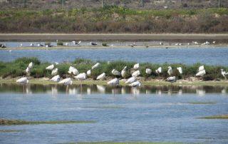 visita caminhada flamingos salinas samouco caminhando-16