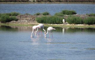 visita caminhada flamingos salinas samouco caminhando-10
