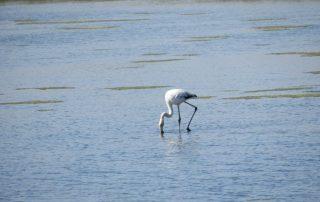 visita caminhada flamingos salinas samouco caminhando-8