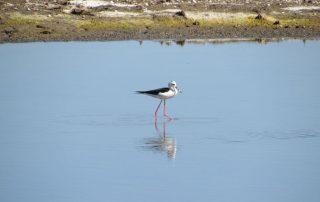 visita caminhada flamingos salinas samouco caminhando-22