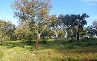 Vista dos sobreiros na caminhada na herdade da Gâmbia em Setubal